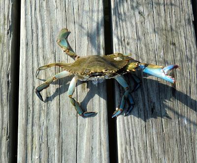 Janes Island State Park Blue Crab