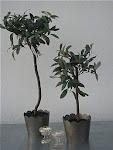 Olivträd...