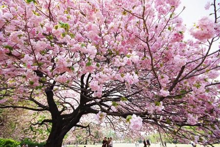 TotusBit: La primera floración de los Sakuras de Santiago