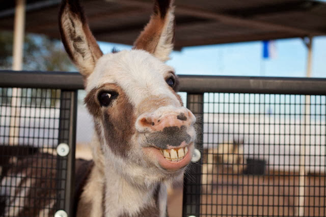Funny animals of the week - 6 December 2013 (35 pics), donkey smiling