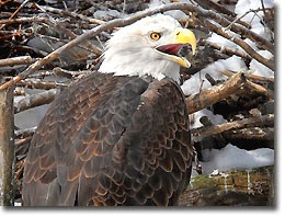 Bald Eagle click to complete puzzle