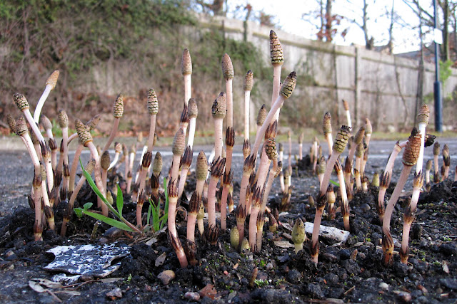 Horsetails erupting through tarmac in Hayes Station car park, 6 April 2011