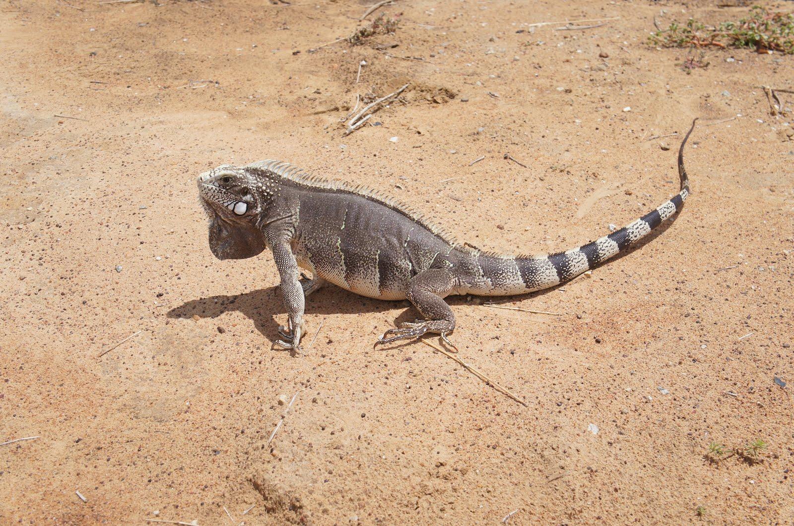 Um belo camaleão da caatinga