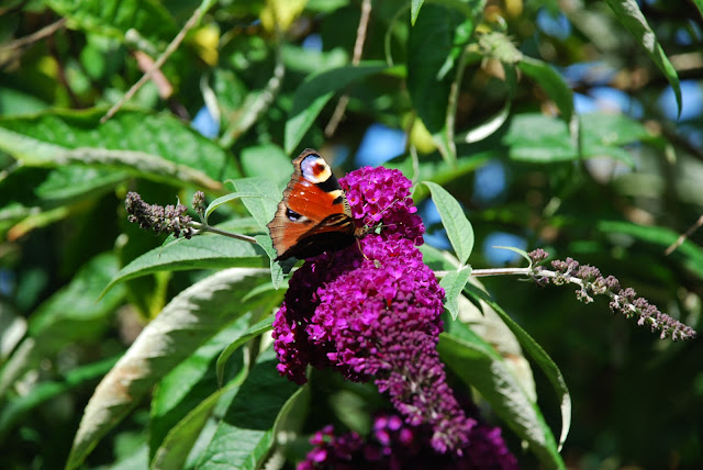 image of a peacock butterfly on purple buddleia