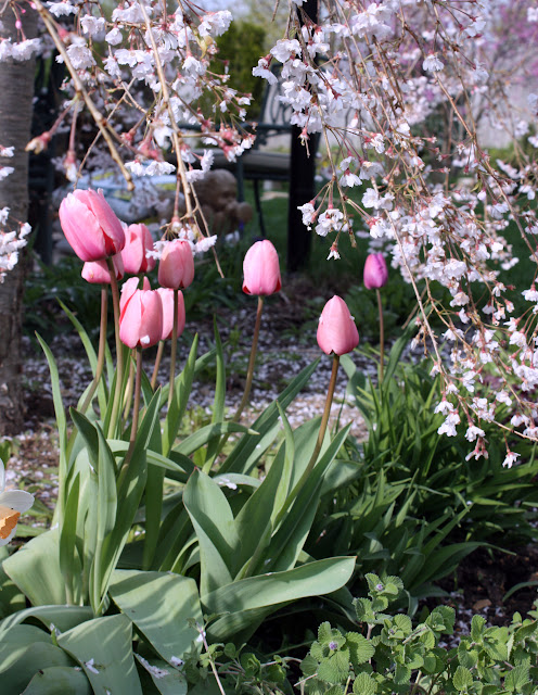 Pink tulips weeping cherry tree