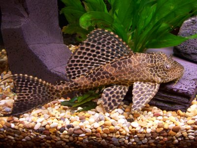 Fish n tips breeds of fish for beginners for Large peaceful community fish