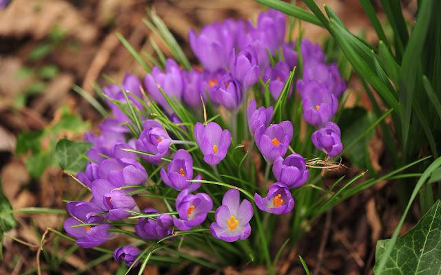 Bureaublad achtergrond met paarse krokussen in de lente