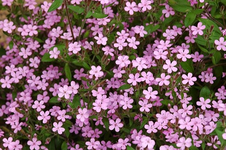 Piante e fiori le piante tappezzanti - Piante tappezzanti ...