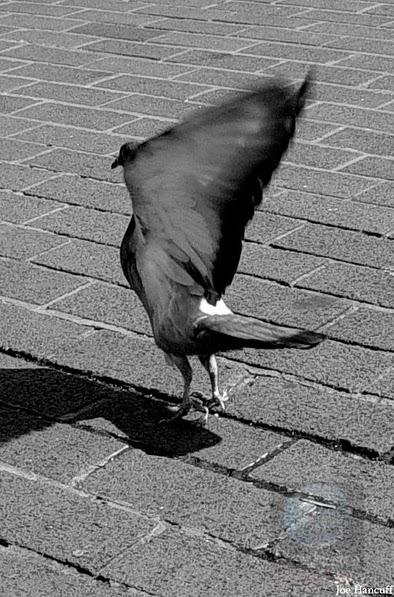 Pigeon Clap-Fling