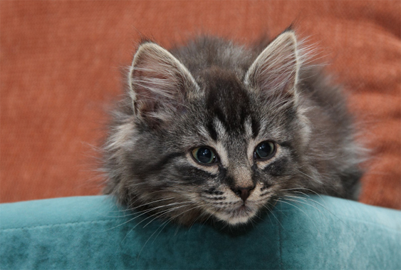 Kissanpentu sohvalla