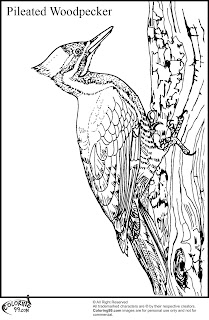 pileated woodpecker coloring pages