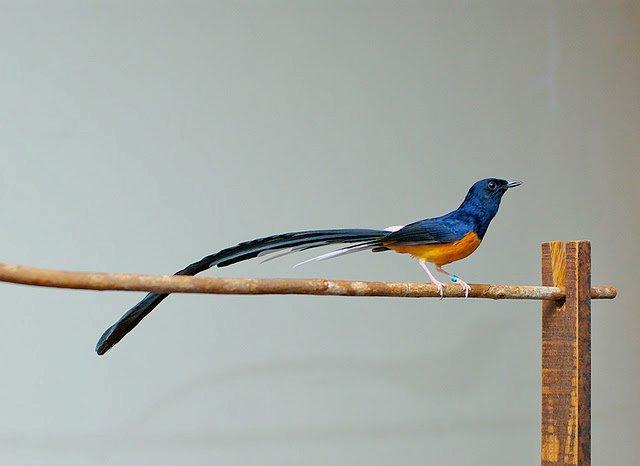 ... ini saya akan membahas tentang burung pemikat hati,sang MURAI BATU