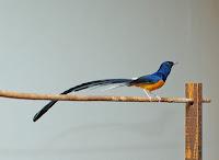 ini saya akan membahas tentang burung pemikat hati,sang MURAI BATU