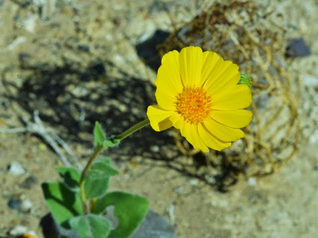 Desert Sunflower Geraea canescens_1328