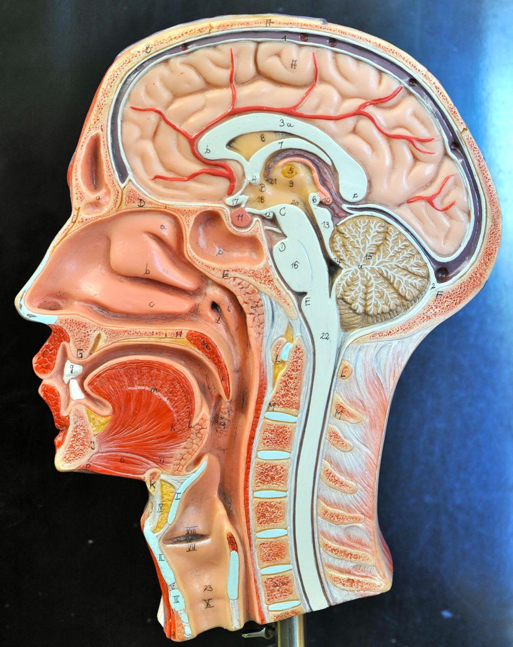 Human Anatomy Lab: Head Models