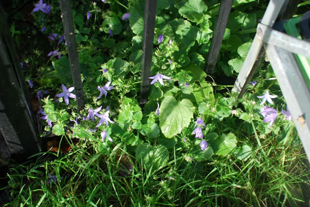 picture of aubretia in flower poking through metal fence