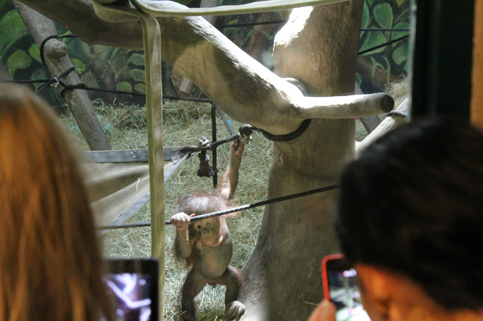 baby orangutan at the Hogle Zoo