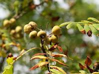 Exemplar de servera amb els seus fruits les serves a la zona dels Suros de Mas Forts