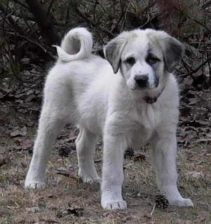 Anatolian Shepherd Puppy Picture