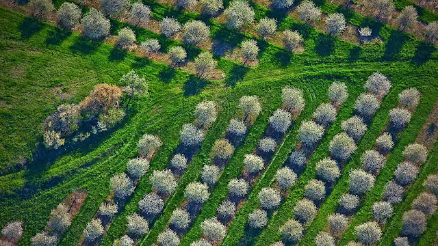 Cherry orchards bloom in Mason County, Michigan (© Jeffrey Wickett/SuperStock) 605