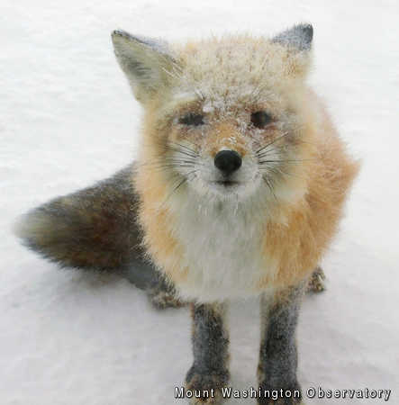 Snowy Fox, Mount Washington Observatory, mwsobs, fox, snow