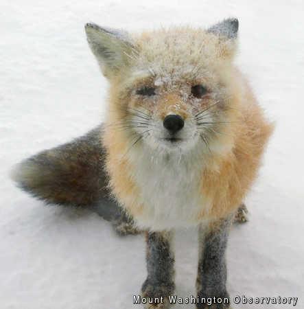 Snowy Fox, Mount Washington Observatory, mwsobs, fox, snow