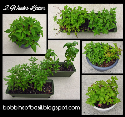 Root pruning herbs | Bobbins of Basil