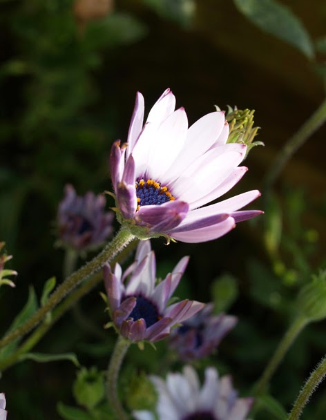 flor de la dimorfoteca