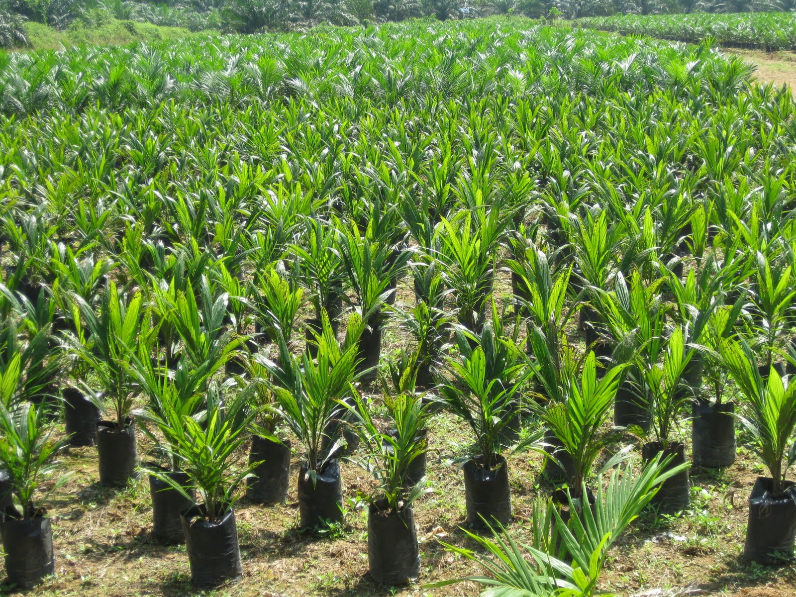 All About Palm Oil The Oil Palm And Its Fruit