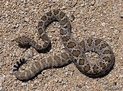 endangered rattlesnakes