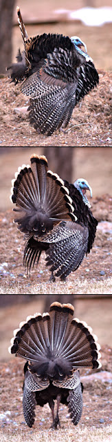 Strutting tom turkey (c) John Ashley