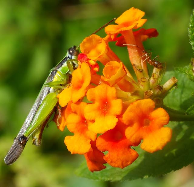 Belalang Dengan Bunga Orange