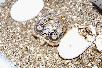 Cría de Malacochersus saliendo del huevo