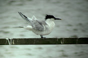 Sandwich Tern