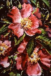 Prairie Rose #1