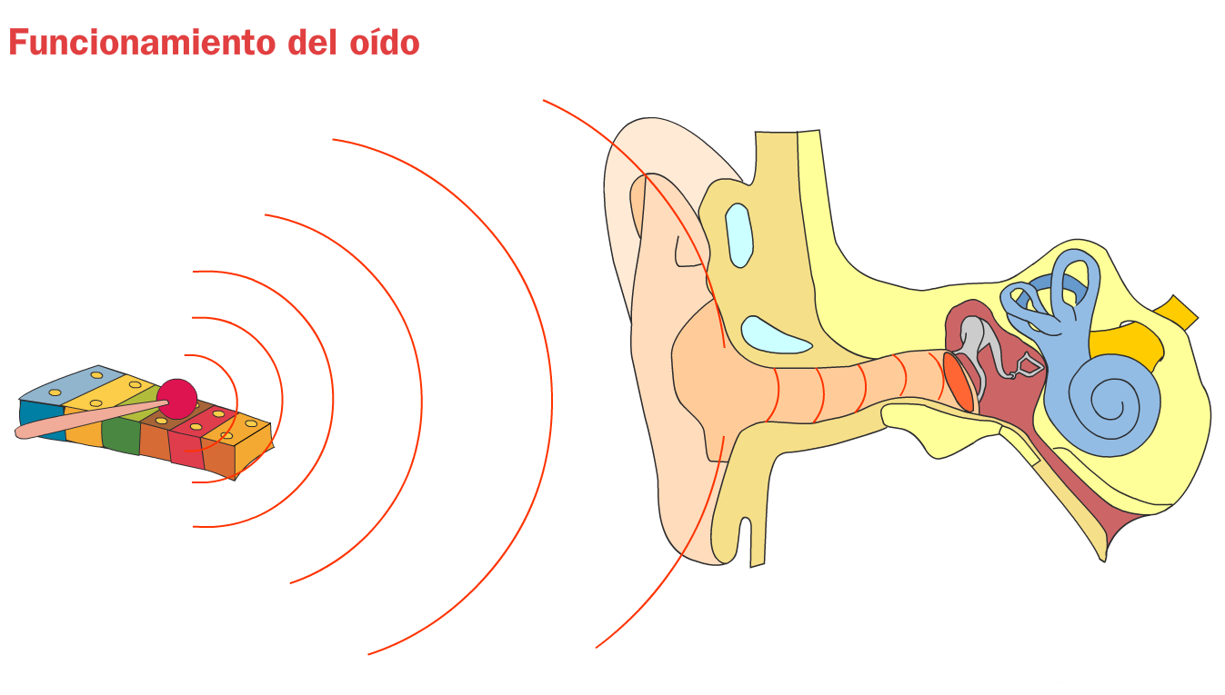 http://www.primerodecarlos.com/TERCERO_PRIMARIA/octubre/Unidad2/actividades/cono/funcionamiento_oido/visor.swf