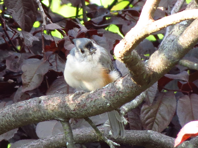 tufted titmouse looking up