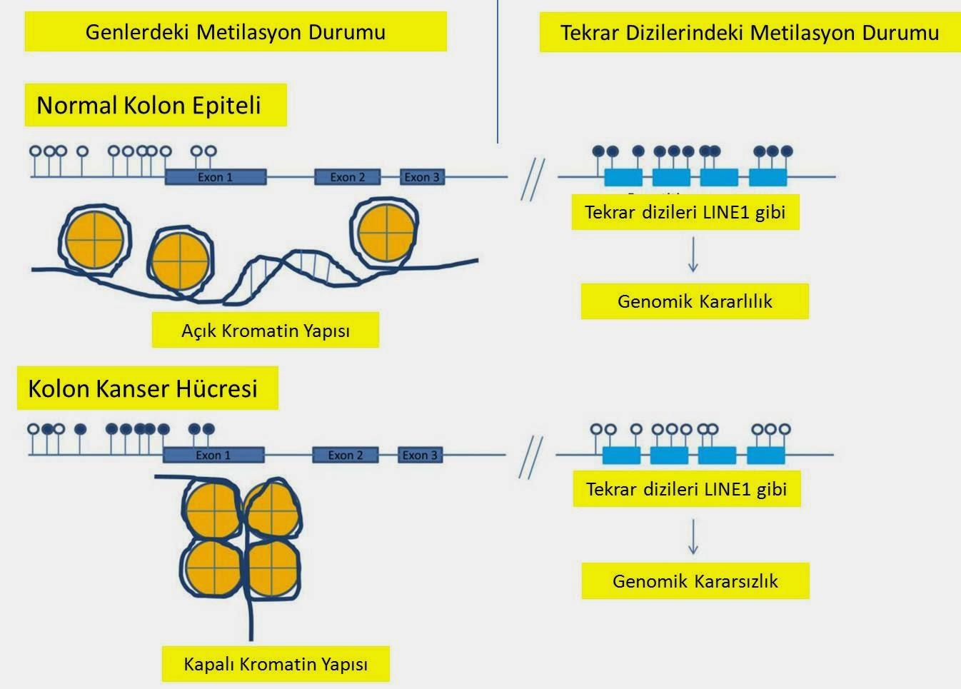 Kolon kanseri kolorektal kanser DNA metilasyon durumu