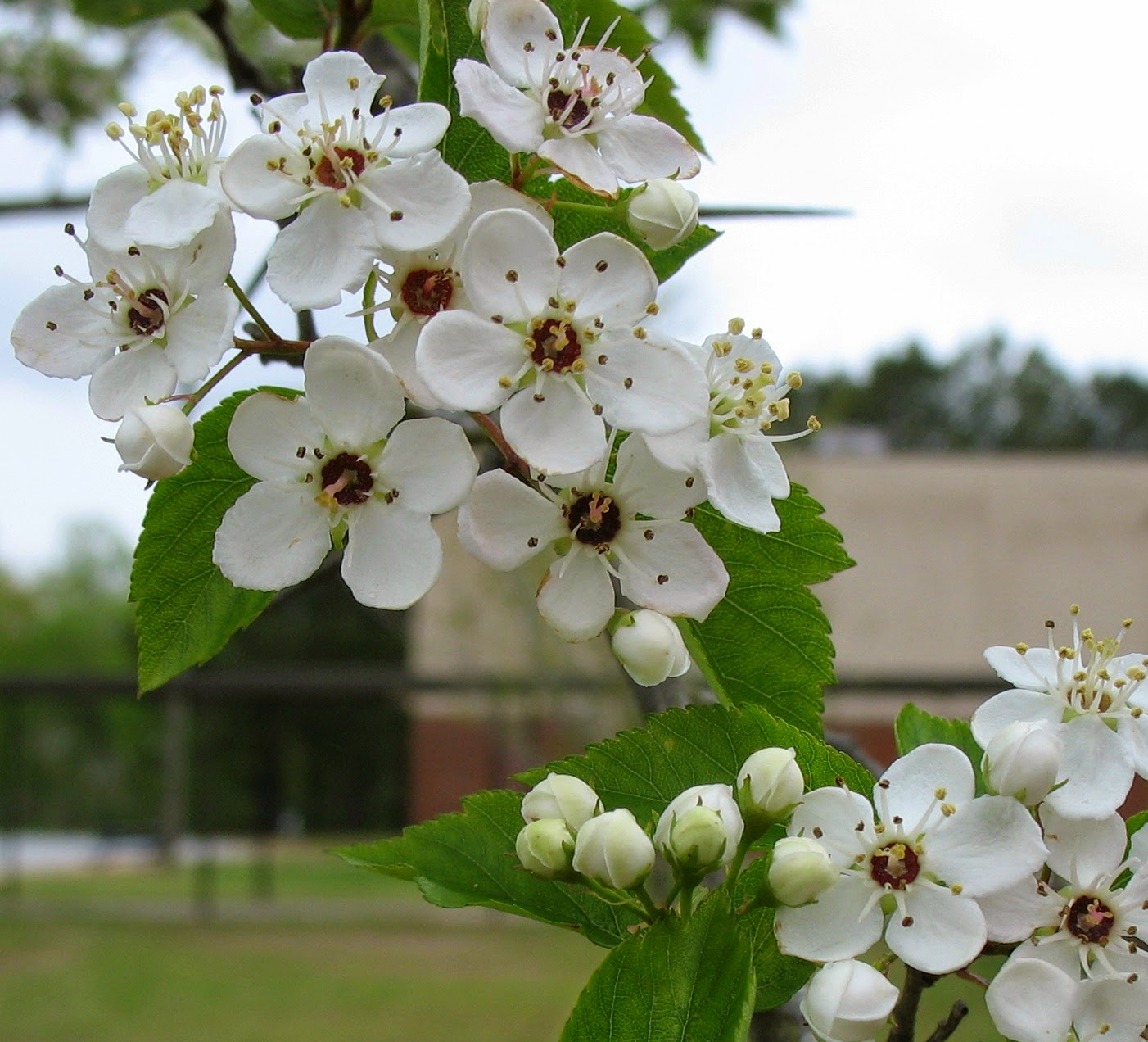 Using Georgia Native Plants Spring Trees Alternatives