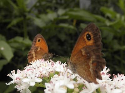 mariposa lobito agreste