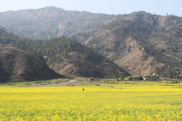 Mustard field in Doti