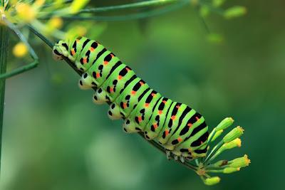 Gusano en color verde con tonos negros y rojos caterpillar