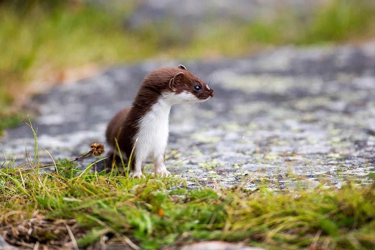 Snømus. Least weasel - Mustela nivalis.