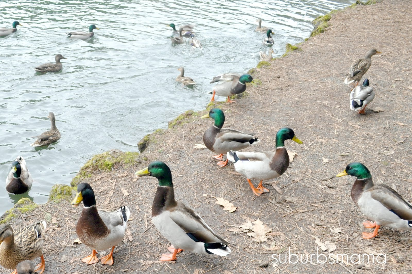 Ducky free amuatuer porn