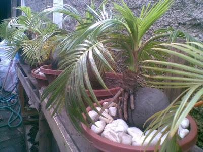 gambar pohon bonsai kelapa