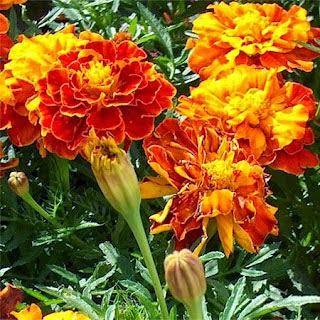 Tanaman Hias marigold, Manfaat Tanaman Marigold, Tanaman Marigold,