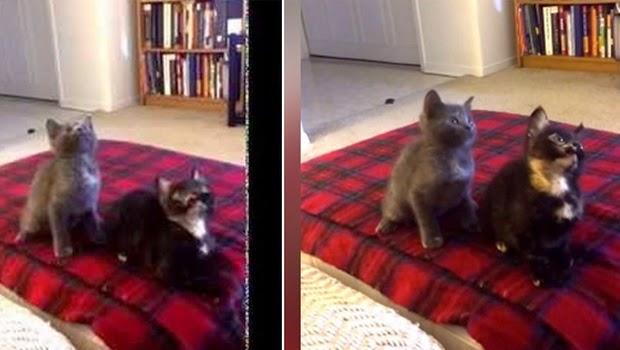 Dua Ekor Kucing Imut ini Bakal Membuat Anda Tertawa