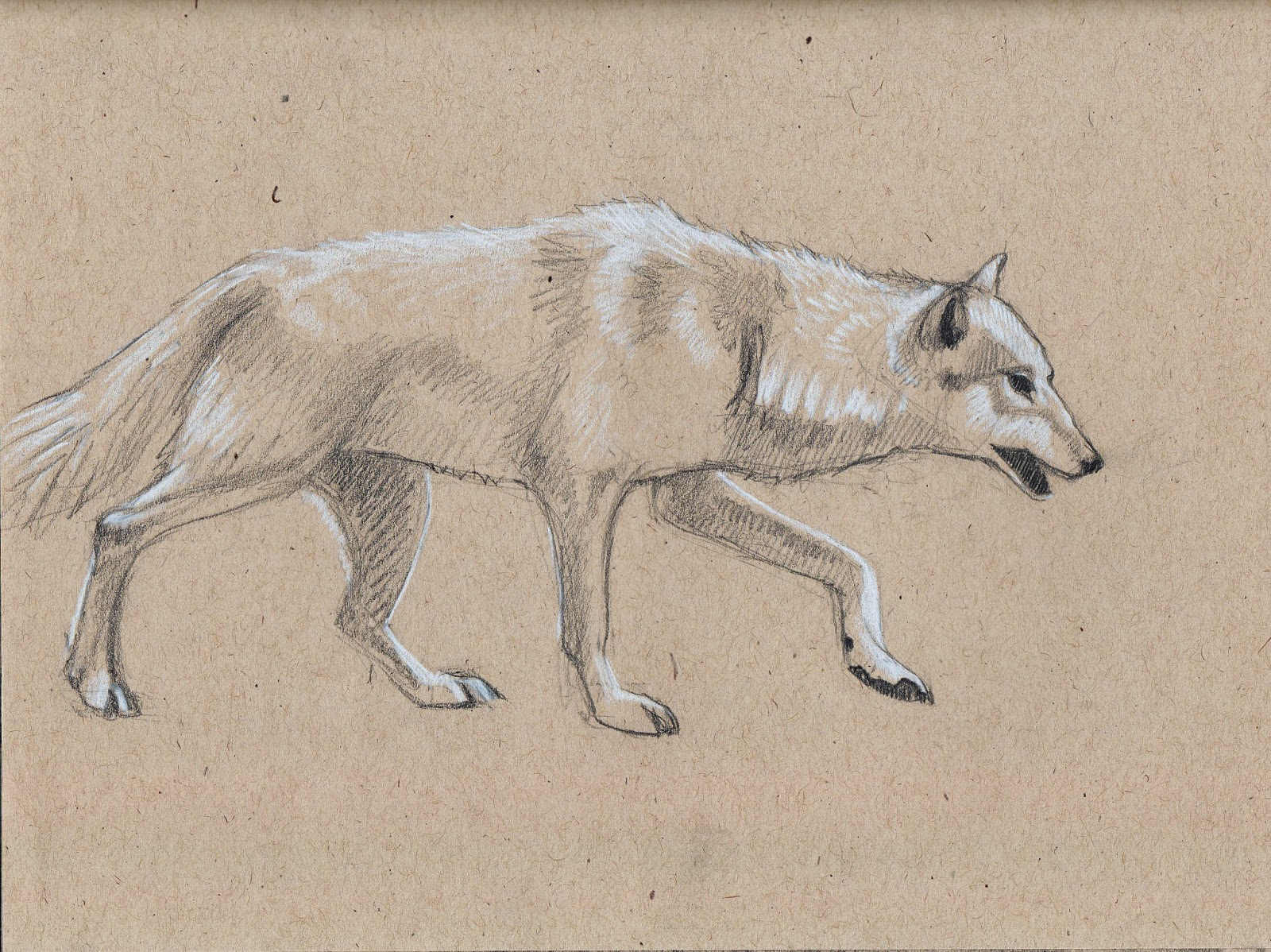 grey wolf, drawing
