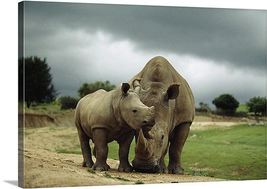 -rhinoceros-at-the-san-diego-wild-animal-park-california-