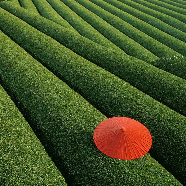 China's beautiful tea fields